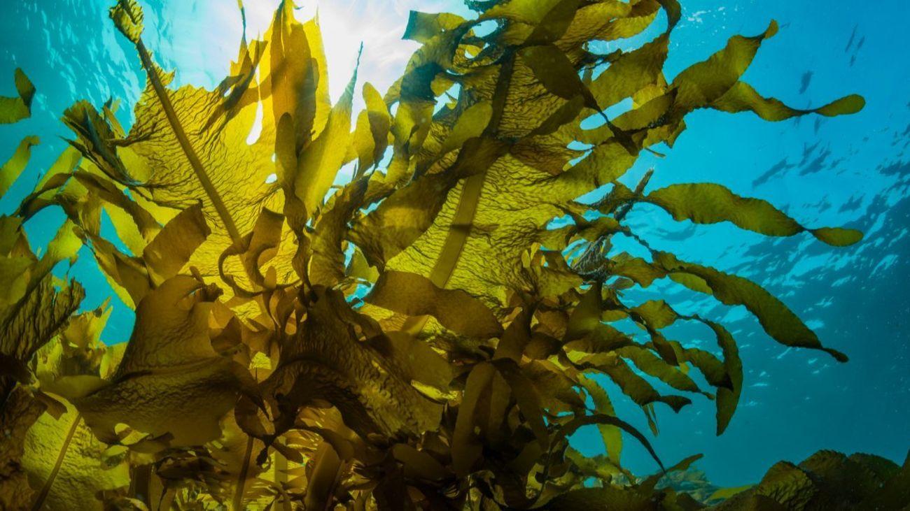 Las algas y sus aplicaciones