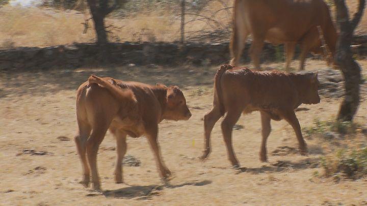 Cuatro crías de toro bravo llevan 15 días fugadas de su finca de Ciempozuelos
