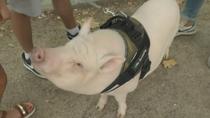 Paseamos a Bacon, el 'mini-pig' de La Elipa
