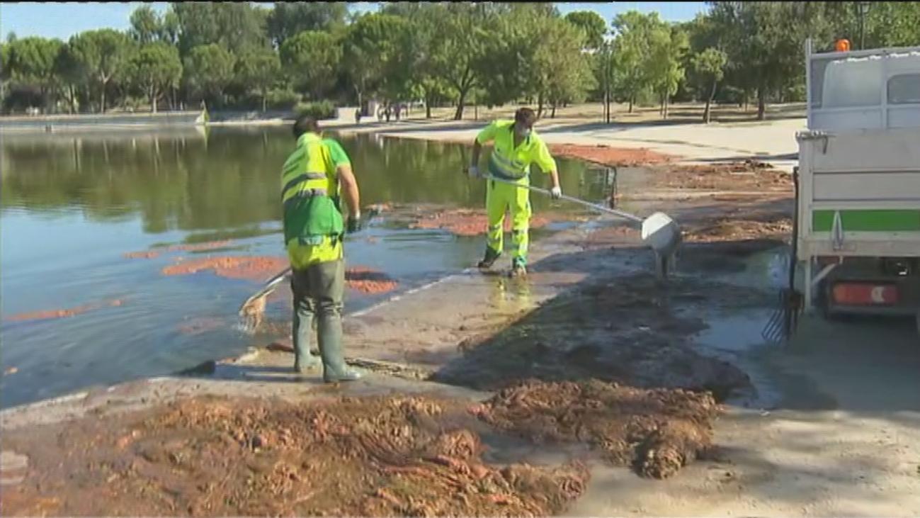 El lago del parque de Pradolongo, cubierto por una plaga de algas rojas 'malolientes'