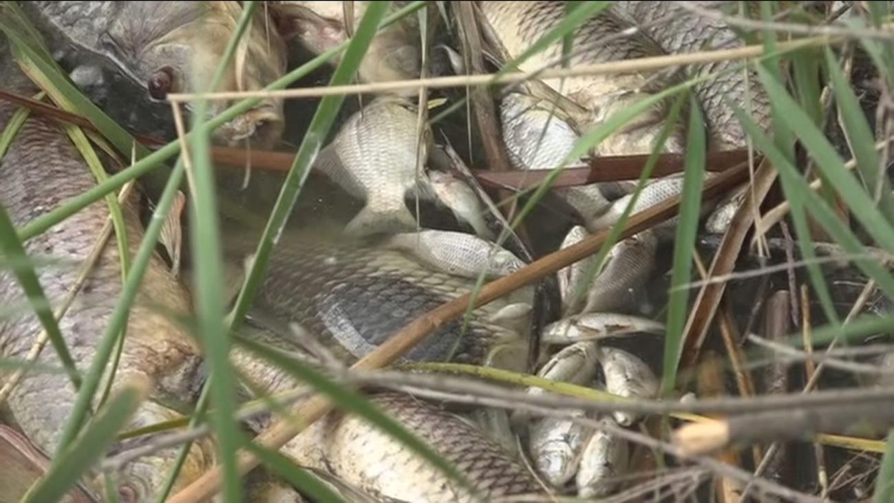 Vuelven a encontrar toneladas de peces muertos en Velilla de San Antonio