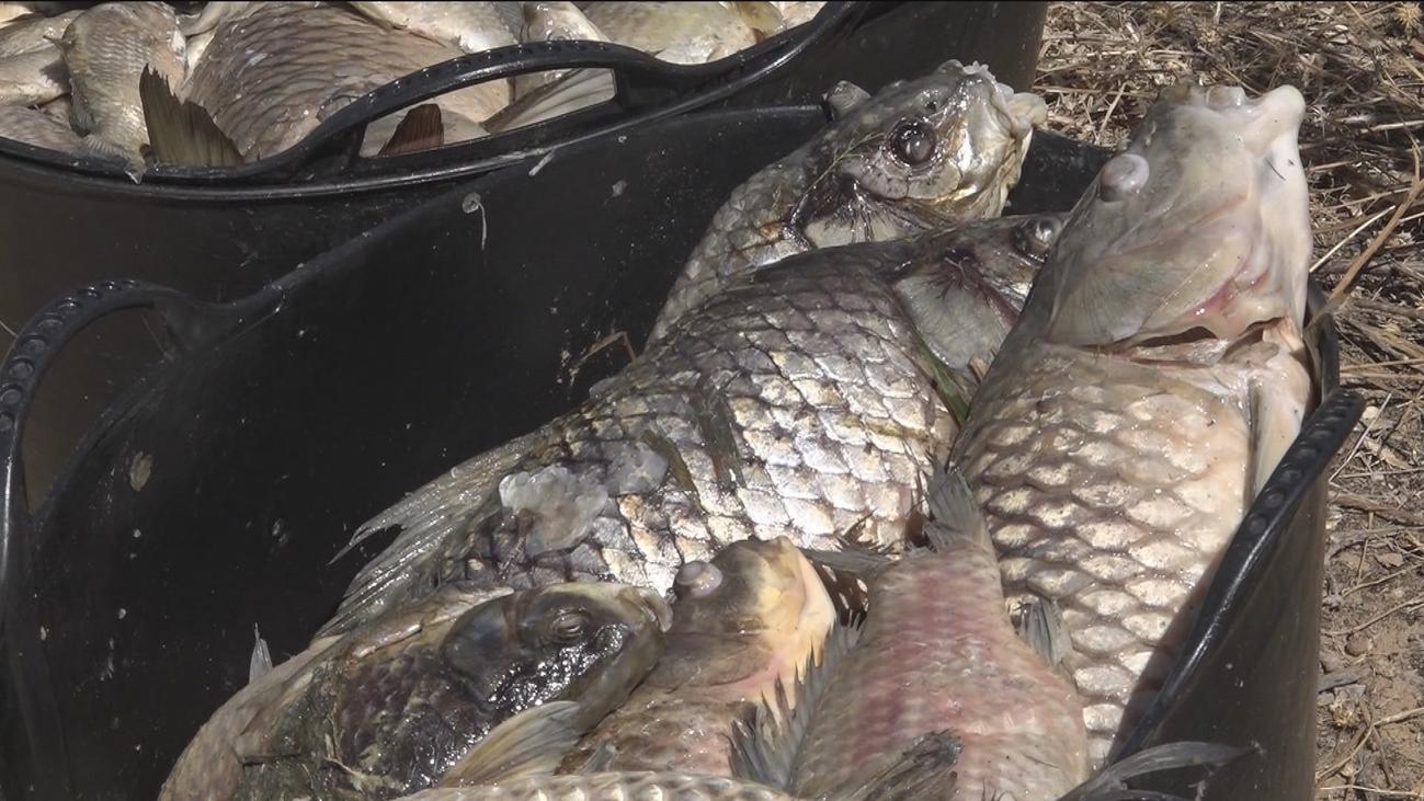 Recogen los peces muertos en Velilla de San Antonio
