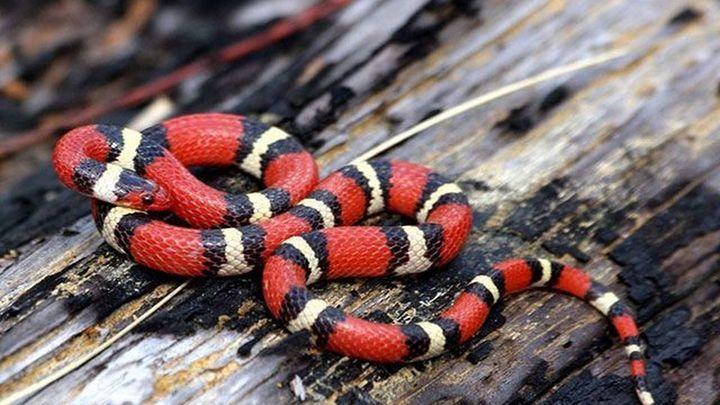 Localizan y rescatan a una serpiente 'Rey Escarlata' de medio metro en un garaje de Madrid