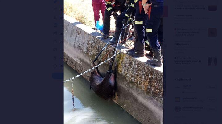 Rescatan una jabalí que se cayó al río Tajo en Aranjuez cuando estaba apunto de ahogarse