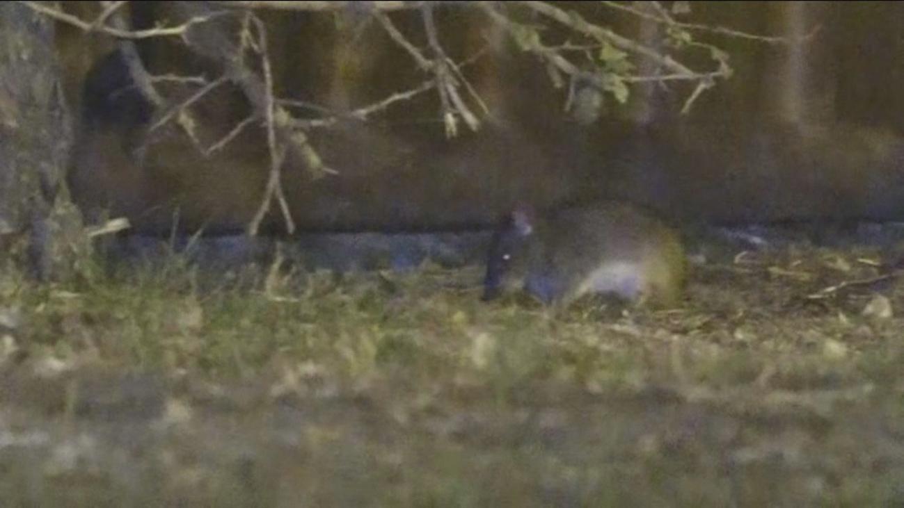 Plaga de ratas en Parque Lago Loranca en Fuenlabrada