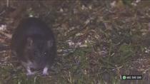 Plagas de ratas por los parques de Parla