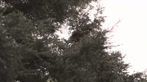 Los vecinos de Coslada denuncian el insoportable ruido y las heces de las cotorras