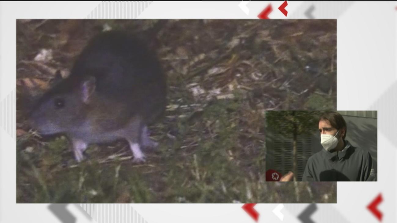 Plaga de ratas en una guardería de Arganzuela