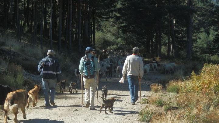 El coronavirus deja este año a Madrid sin ovejas