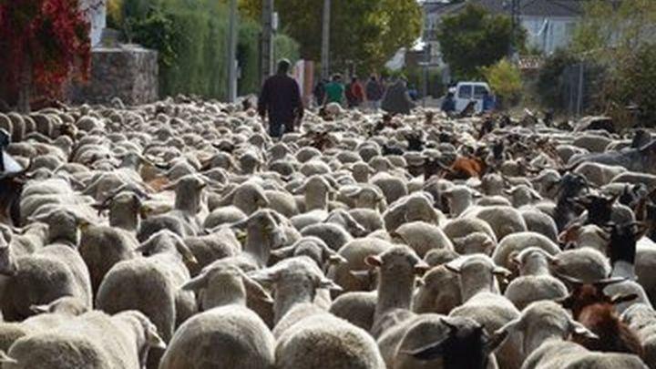 Un rebaño trashumante de 1.300 ovejas logra llegar a Madrid pese a la covid