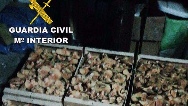Dos hombres intentan pasar 70 kg de níscalos de Segovia a Madrid con el permiso de recolección de otra persona