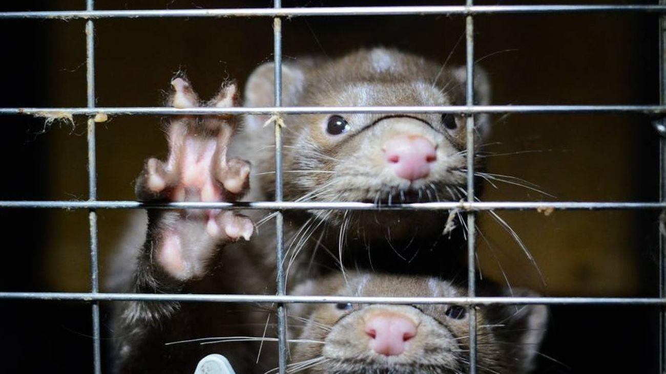 Visones americanos dentro de una jaula