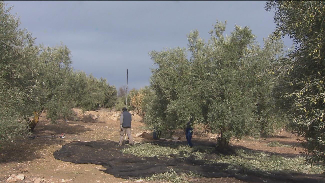 Los olivares madrileños se desnudan