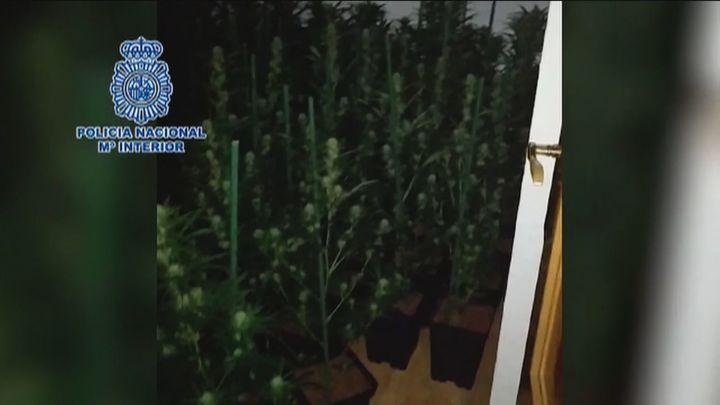 Amenaza al técnico de la compañía eléctrica por cortarle el engancheilegal a su plantación de marihuana