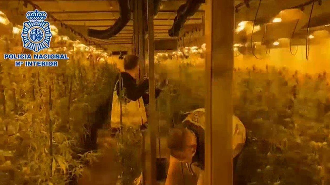 Plantación de marihuana desmantelada por la Policía Nacional