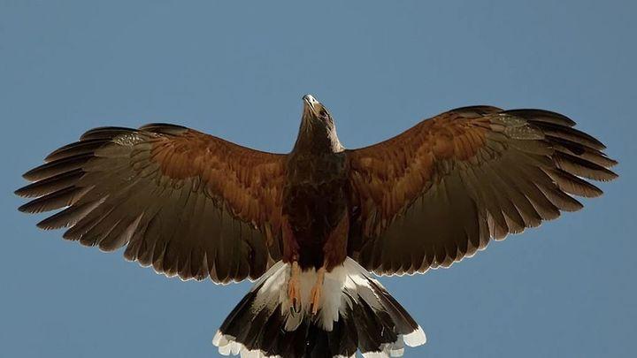 Águilas contra palomas en el cielo de Arganda del Rey