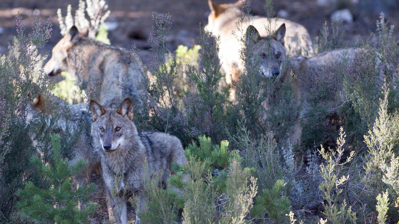 Lobos del Centro del Lobo Ibérico en Zamora