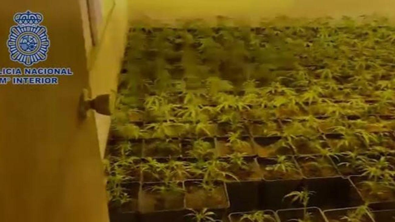 Incautadas más de 2.500 plantas de marihuana en chalés de Guadalix y Algete