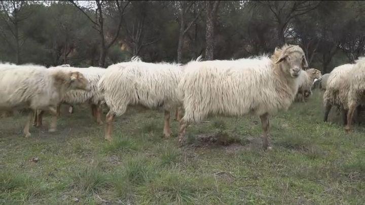 Un rebaño de 270 ovejas en plena ciudad de Madrid
