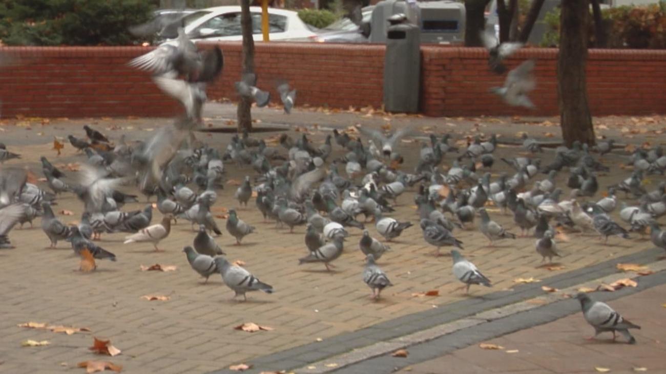 La auténtica pesadilla que viven en la calle Tarragona por las palomas