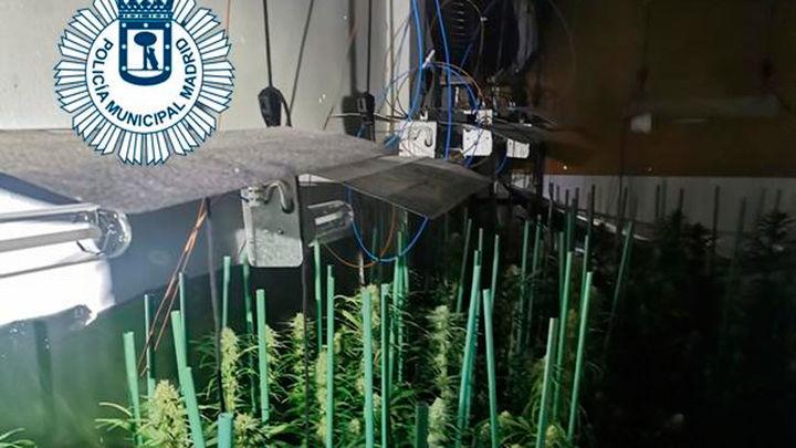 Detenido un joven que cultivaba 213 plantas de marihuana en su vivienda de Villaverde