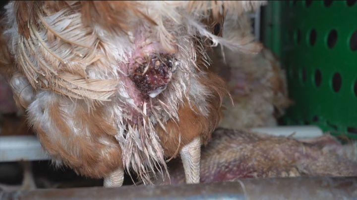 """La """"extrema brutalidad"""" con la que son tratadas estas gallinas en Tielmes"""
