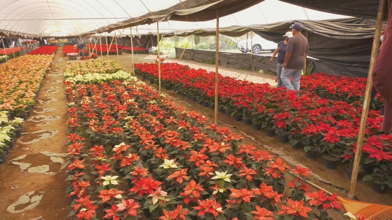 Xochimilco, hogar de la flor de pascua originaria de México