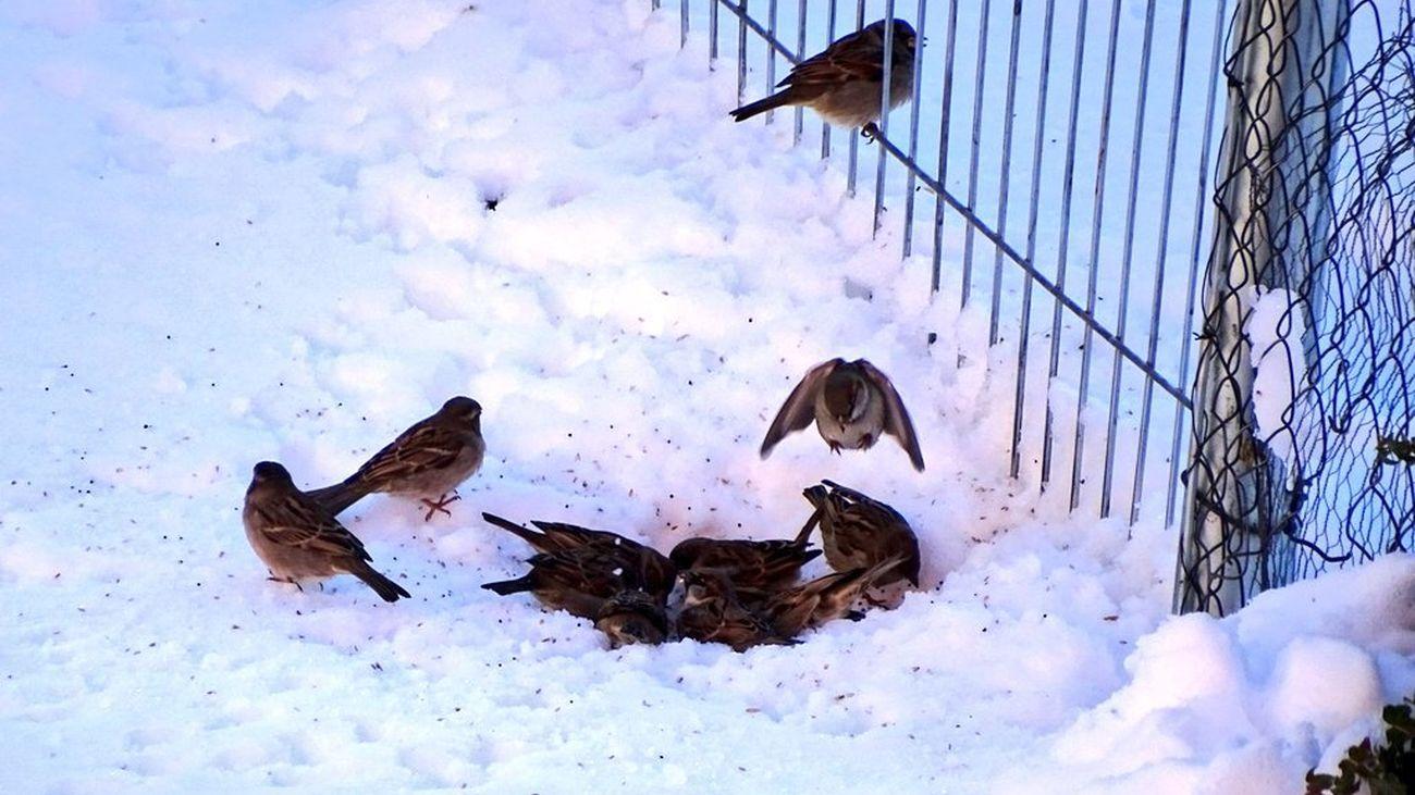 Varios gorriones buscan alimento entre la nieve