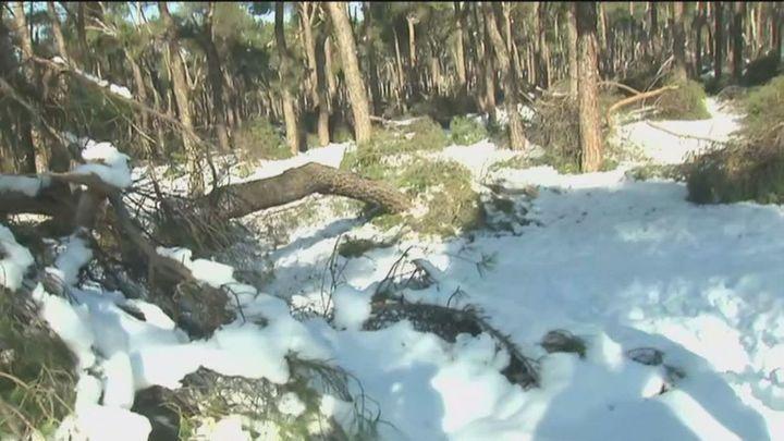 El pinar de San José queda devastado tras la gran nevada que ha abatido árboles centenarios