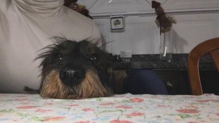 Recompensa de 3.000 euros por encontrar a Musu, un teckel desaparecido en Villaviciosa