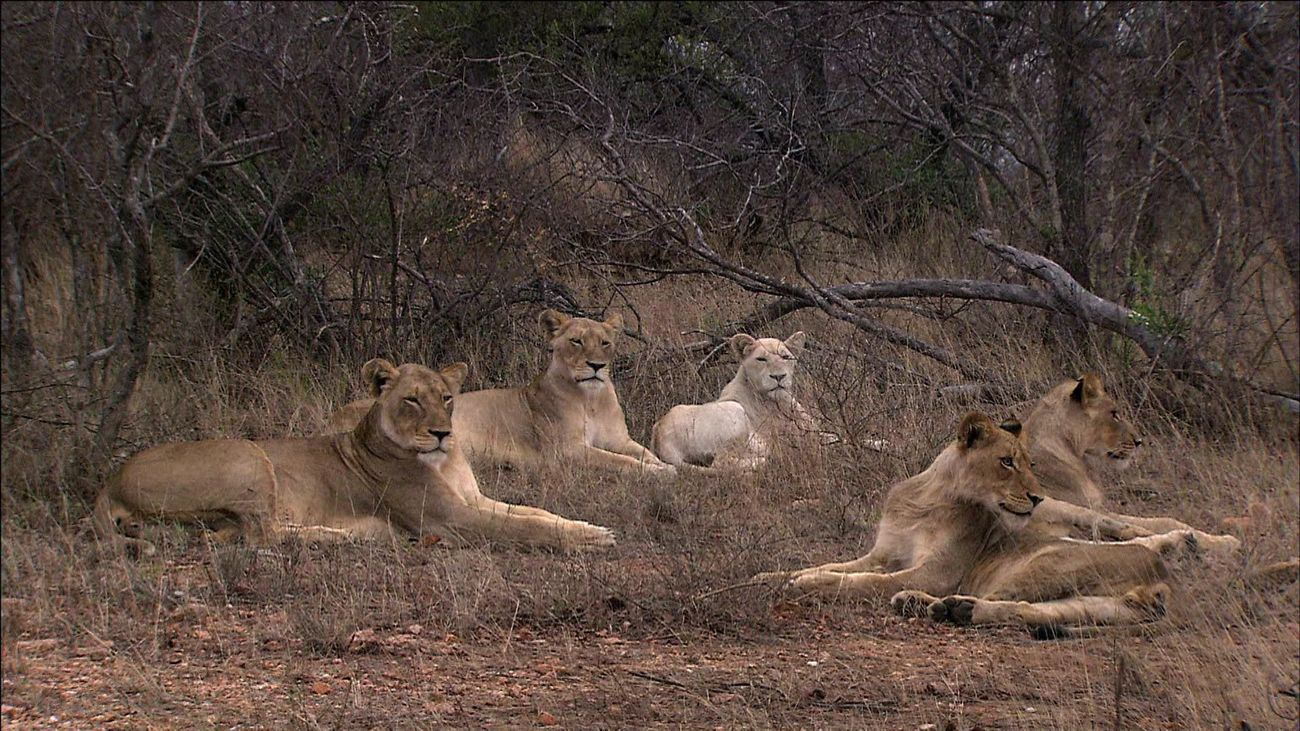Escena del documental 'Leones blancos salvajes'