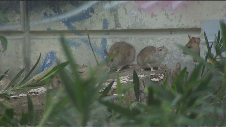 Ratas gigantes en la estación de Cercanías de Méndez Álvaro