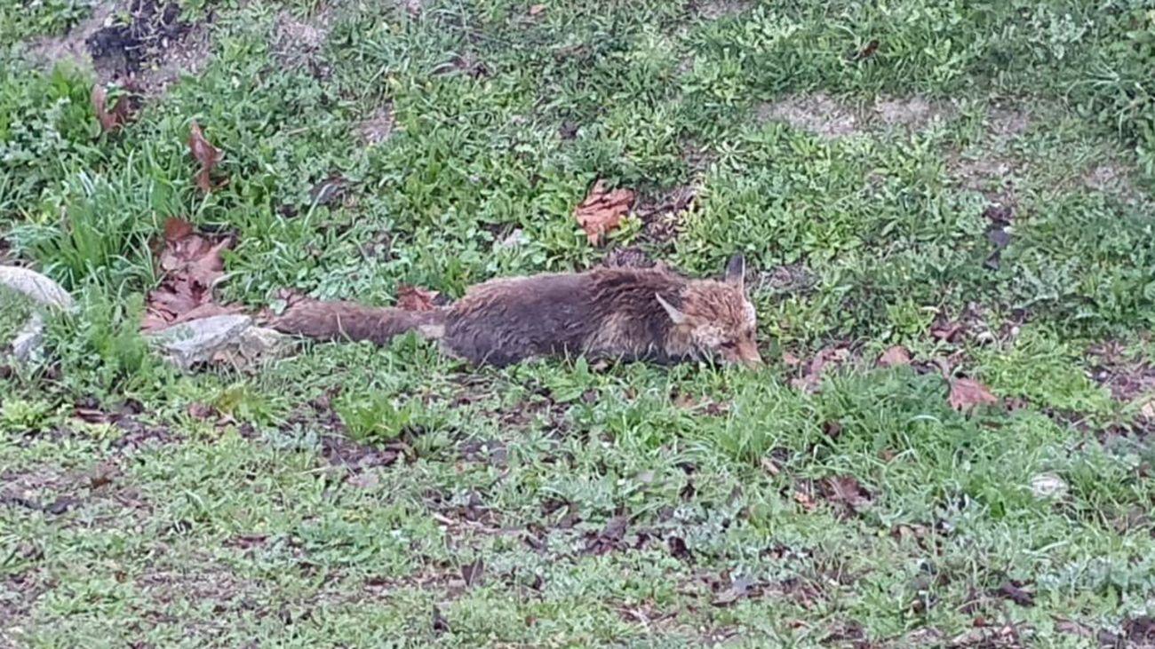Un zorro perdido en Valdemoro