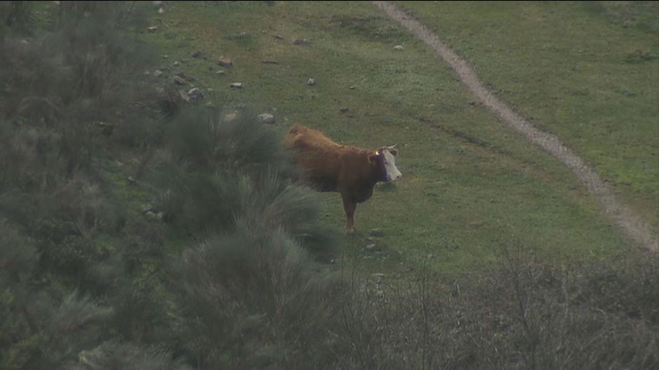 Un ganadero madrileño pide ayuda para que sus reses no mueran atrapadas