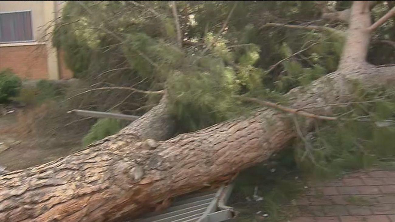 Más de un mes esperando a que recojan un pino caído en el barrio de San Cristóbal, en Villaverde