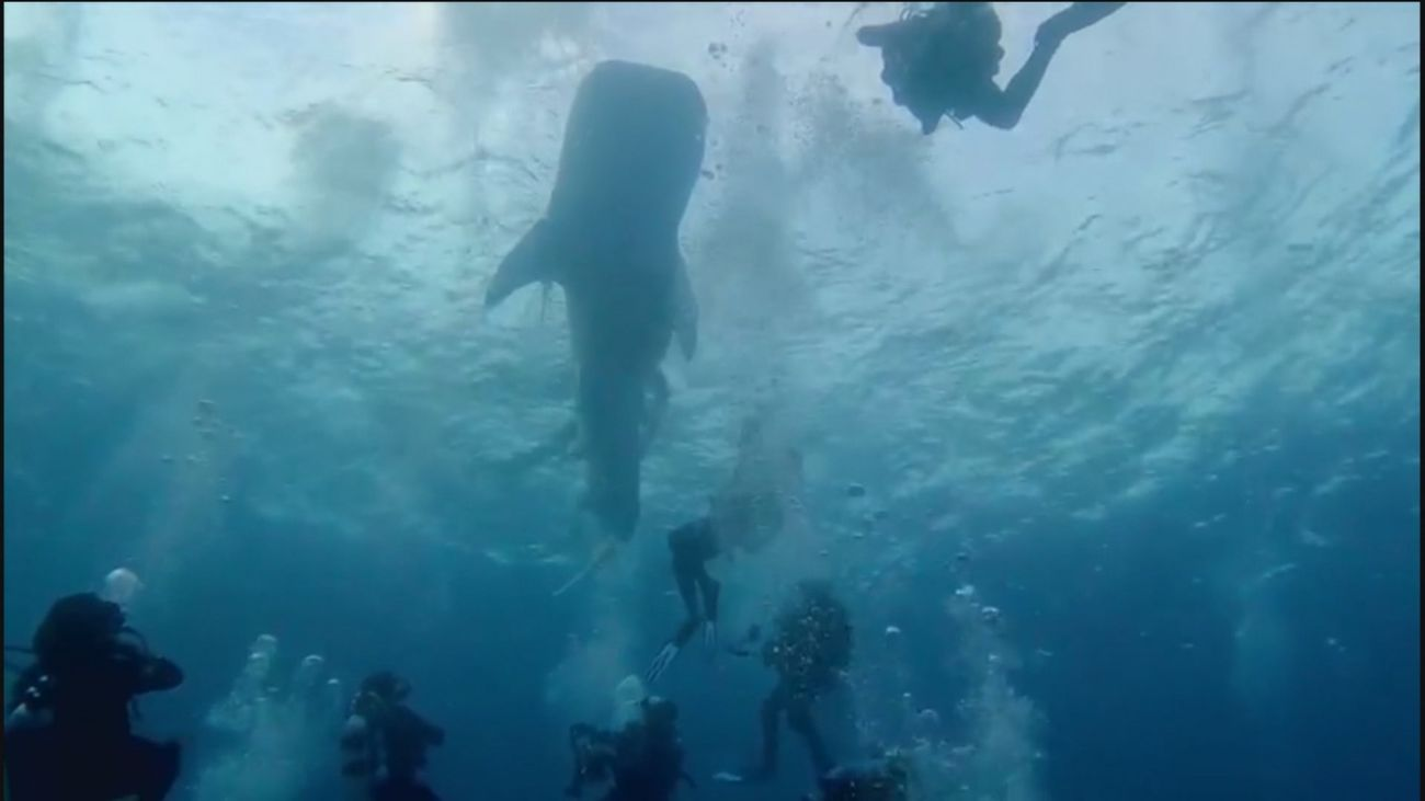 Unos buceadores españoles rescatan a un tiburón ballena enredado en una bolsa en Maldivas