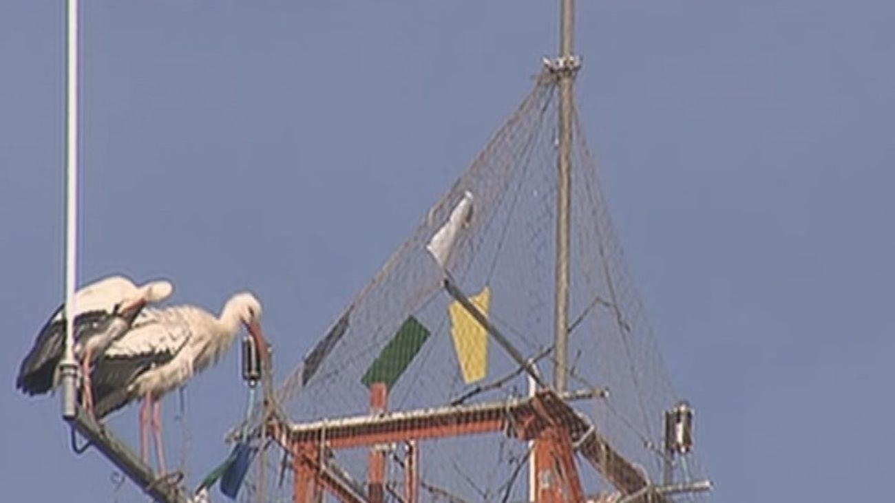 Las cigüeñas de Parla intentan recuperar el lugar de su nido ocupado por una antena