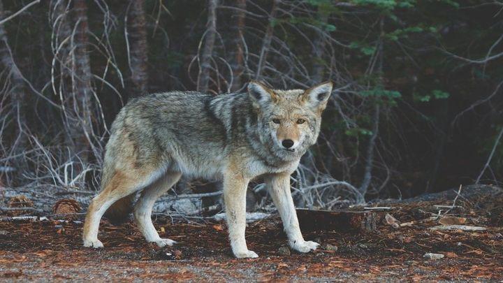 El lobo ibérico de la Sierra de Guadarrama