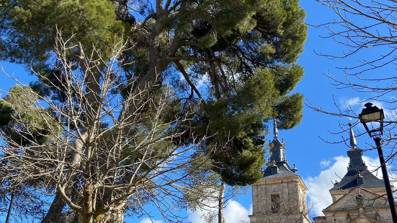 Pino carrasco de Nuevo Baztán, árbol singular de la Comunidad de Madrid