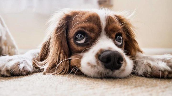 Una pareja subasta a su perro porque son incapaces de decidir quién se lo queda