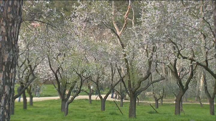 Los madrileños acuden al parque de la Quinta de los Molinos para ver los almendros en flor