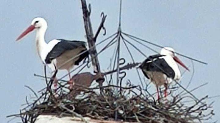 Una pareja de cigüeñas 'se rebela' y reconstruye el nido de la polémica en la iglesia de Pinilla de Buitrago