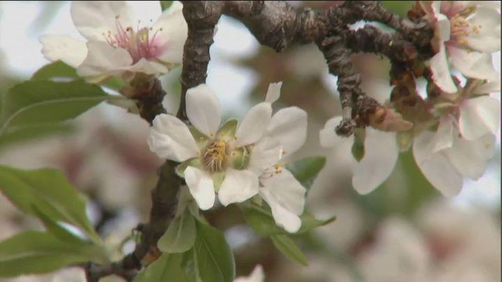 El Retiro o Quinta de los Molinos, rincones favoritos de los madrileños para disfrutar de los almendros en flor