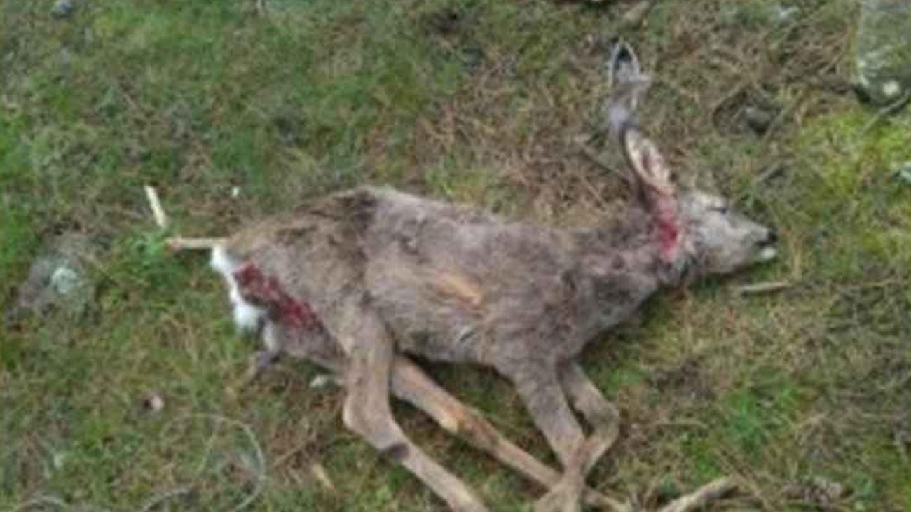 Hallan en Moralzarzal una cría de corzo muerta por el ataque de perros