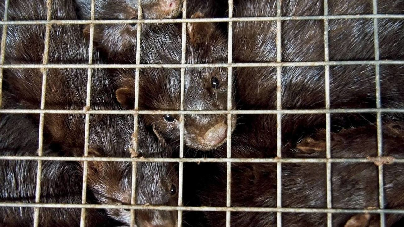 WWF pide el cierre de las granjas de visones ante el nuevo brote registrado en Galicia