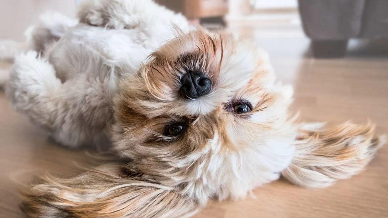 Perro tumbado boca arriba