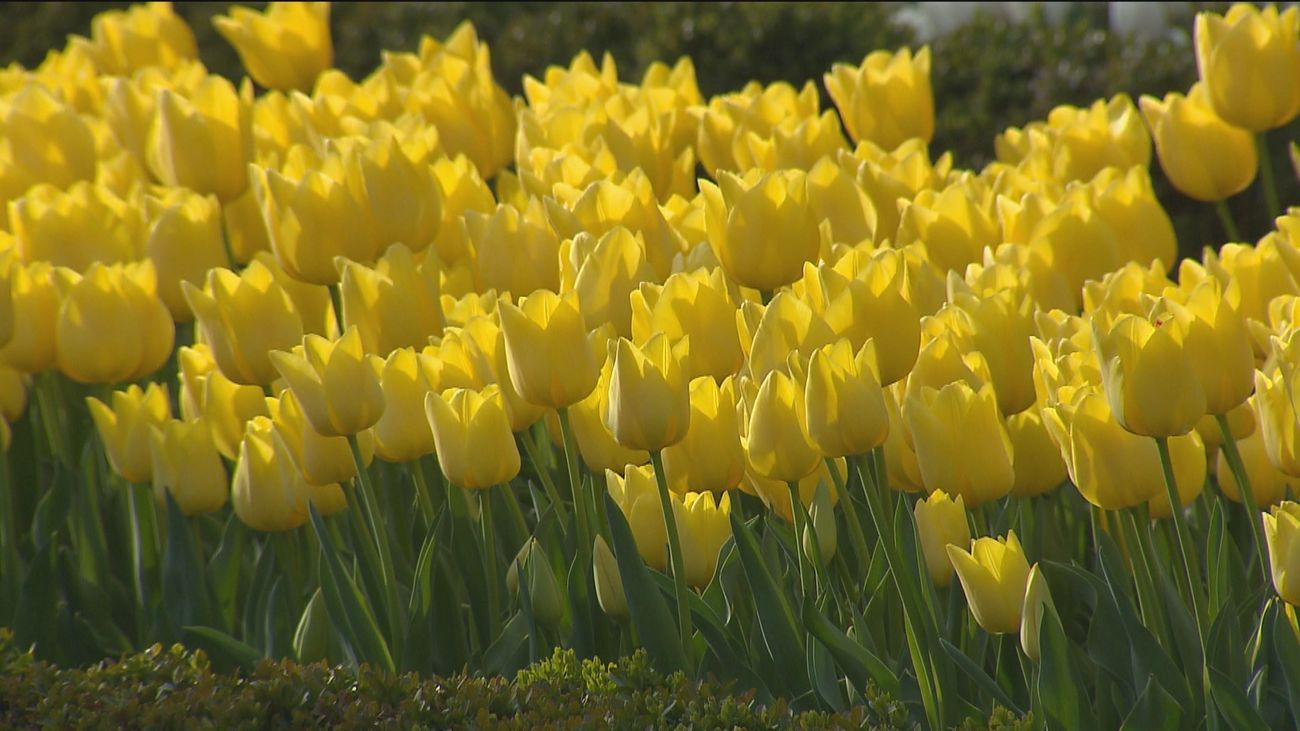La floración de los tulipanes avanza el color que cubrirá en mayo la rosaleda del Botánico