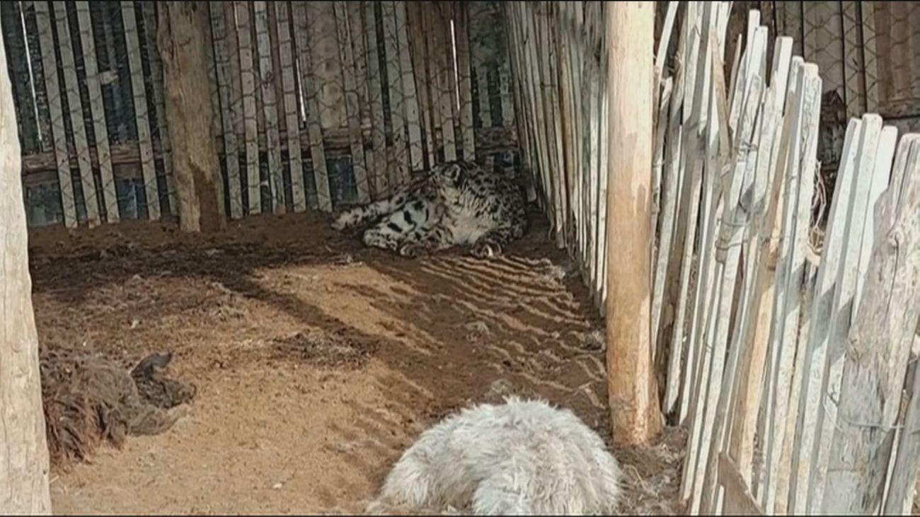 Un leopardo de las nieves hambriento devora 19 ovejas en una granja china