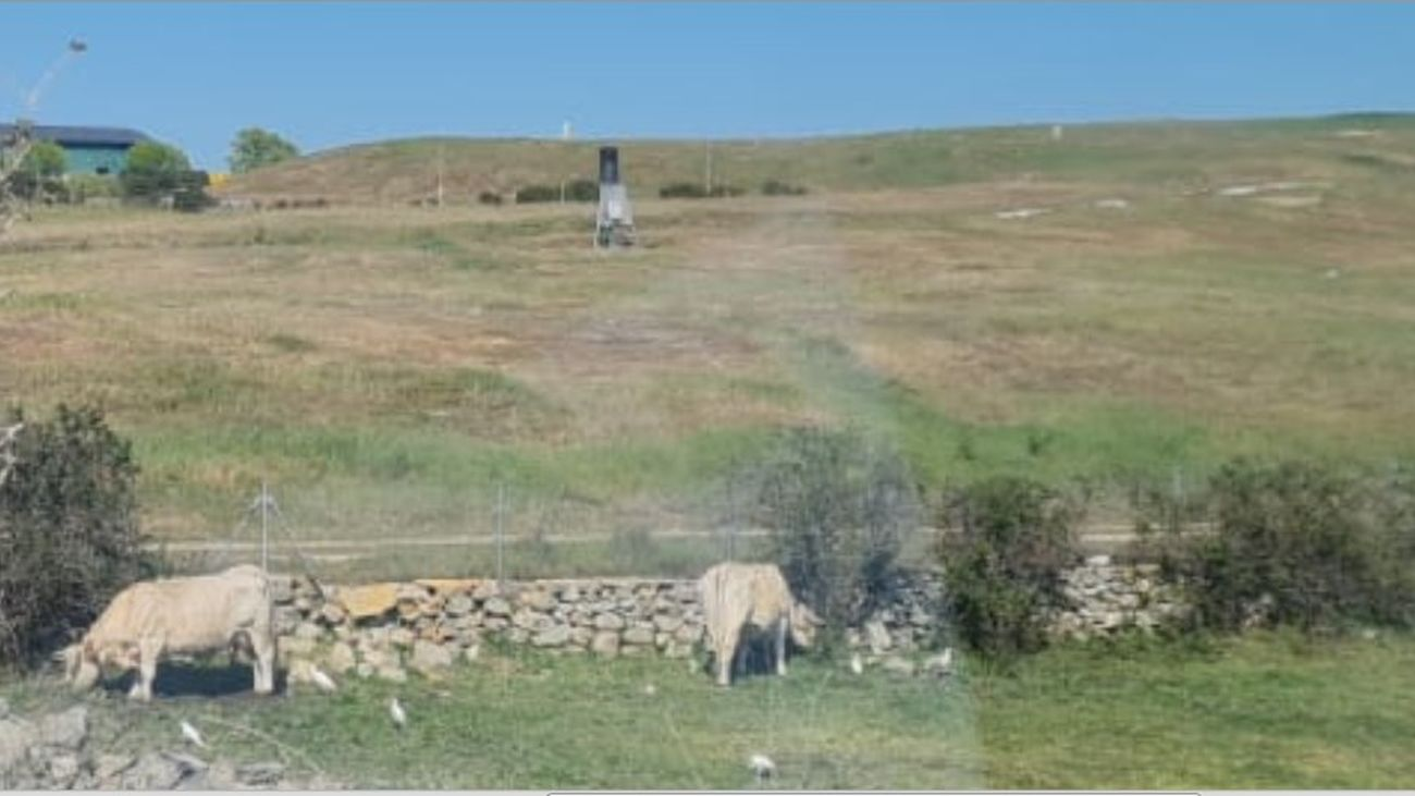 Ecologistas denuncia que un grupo de vacas  pasta junto al vertedero de Colmenar Viejo