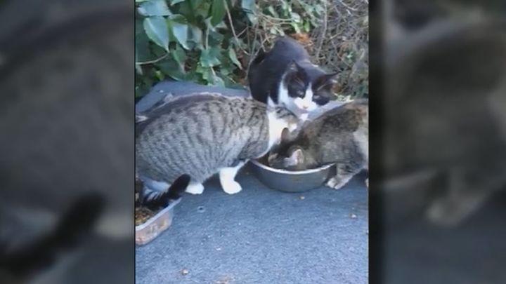 Vecinos de Manzanares el Real denuncianperdigonazos a una colonia de gatos